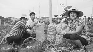 西峡县重阳镇立体经营猕猴桃套种土豆让土地生金 - 王熙龙 - 猕猴桃优良品种